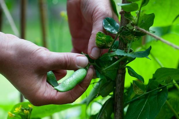 Picking a pea-pod