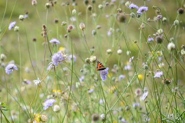 Meadow of scabious