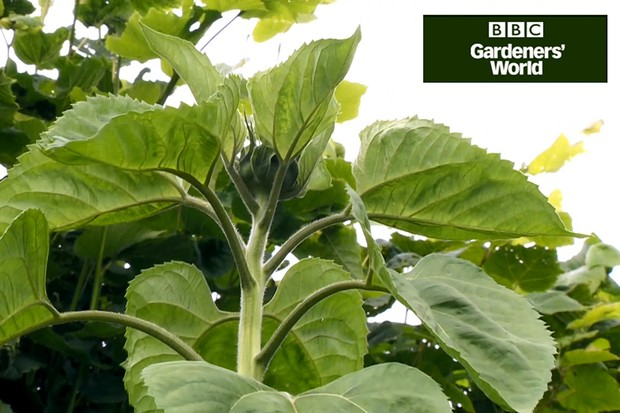 Monty Don's giant sunflower trial part three video