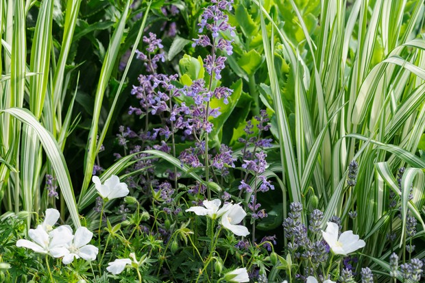 White cranesbills and powdery-blue catmint with spiky upright gardener's garters