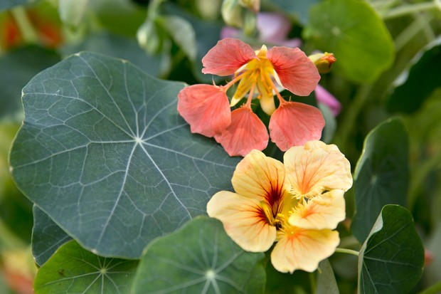 Orange flowers and large flat round leaves of nasturtium
