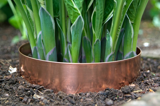 Deterring slugs with copper band at the base of a hosta plant