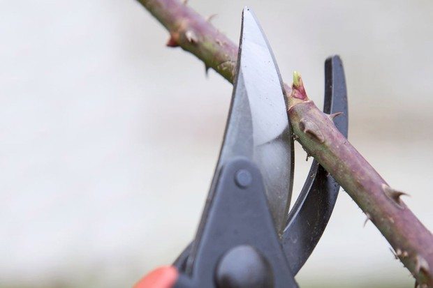 How to winter-prune trees and shrubs - pruning too close to a bud