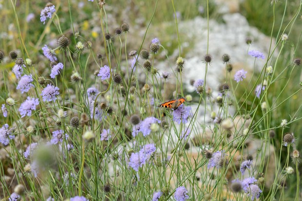 Field scabious (Knautia arvensis) with painted lady butterfly
