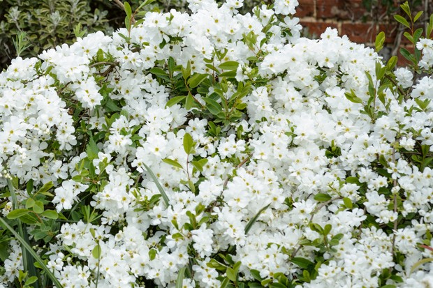 White Exochorda x macrantha in bloom
