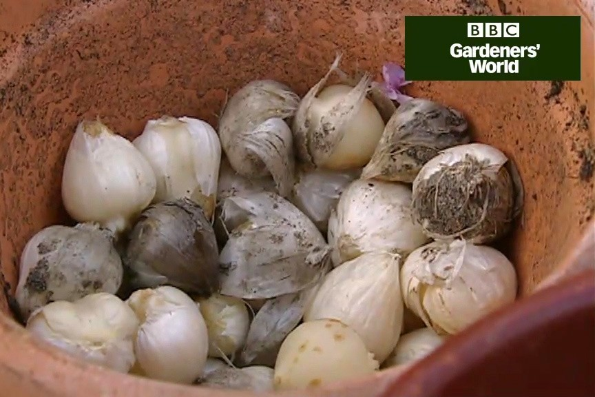 How to plant ornamental alliums video