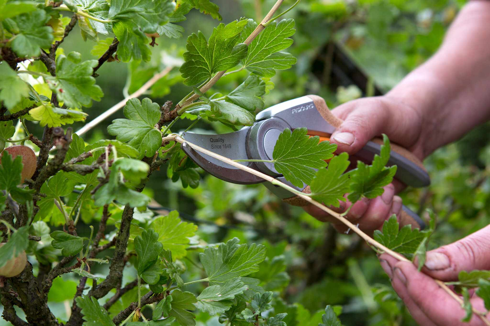 Pruning a gooseberry