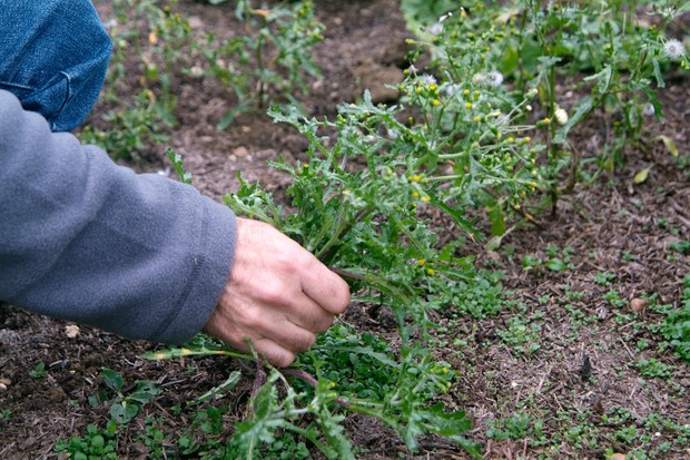 Pulling up groundsel by hand