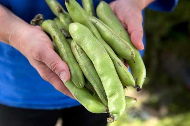 broad-beans-11