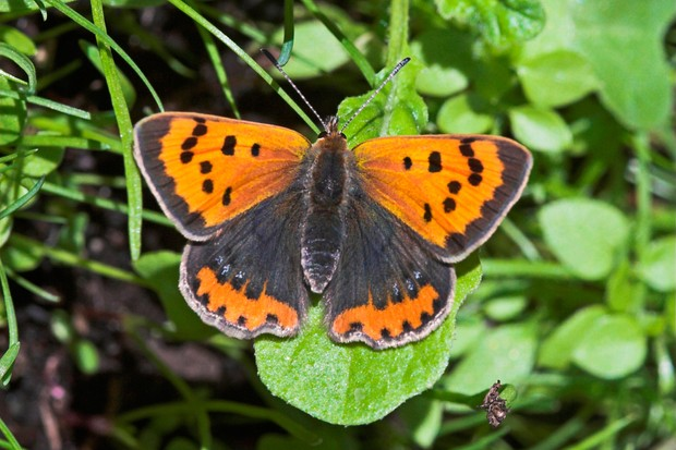small-copper-butterfly-credit-butterfly-conservation-www-butterfly-conservation-org-2