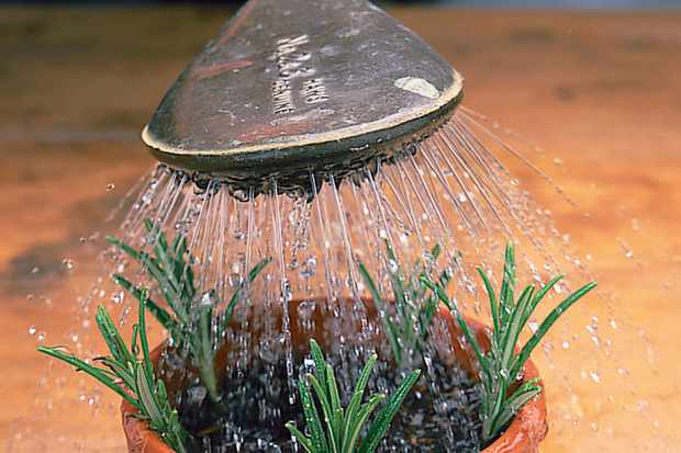 watering-rosemary-cuttings-2