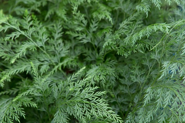 Fine fronds of the carrot top fern