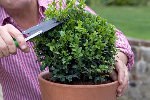 Trimming box plants