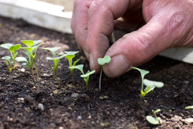 Thinning out seedlings