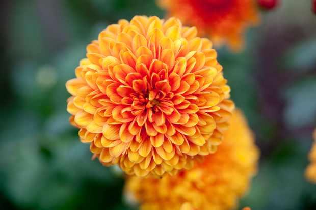 chrysanthemum-6