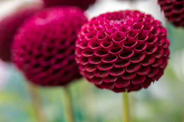 Maroon pompon flowers of <em>Dahlia</em> 'Moor Place'