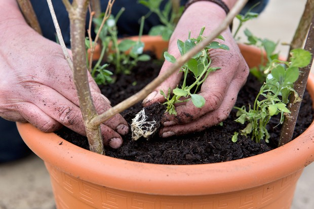 planting-sweet-pea-plugs-in-pots-2