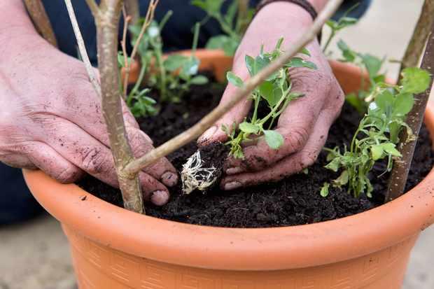 planting-sweet-pea-plugs-in-pots-2