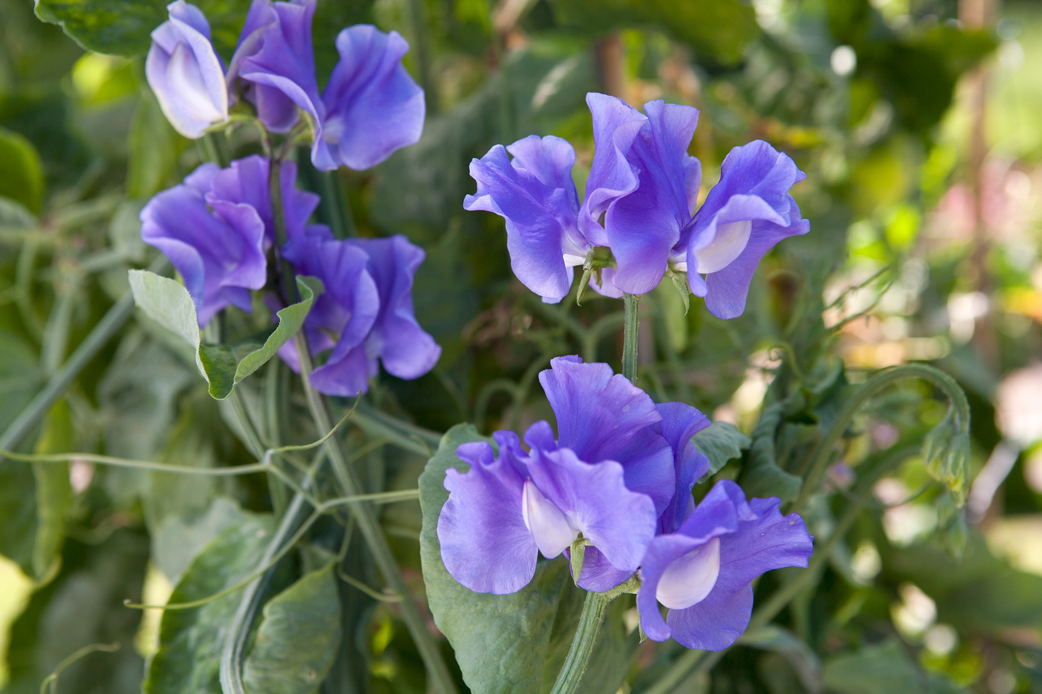 Best Sweet Peas for Cut Flowers