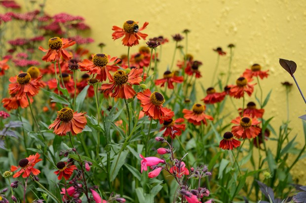 helenium-moerheim-beauty-and-penstemon-andenken-an-friedrich-hahn-2