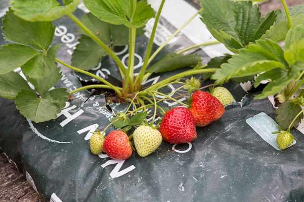 growing-strawberries-in-a-growing-bag-2