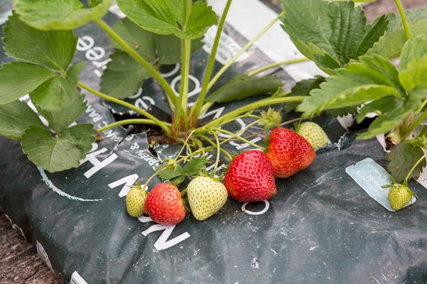 A strawberry plant bearing fruit, in a grow-bag