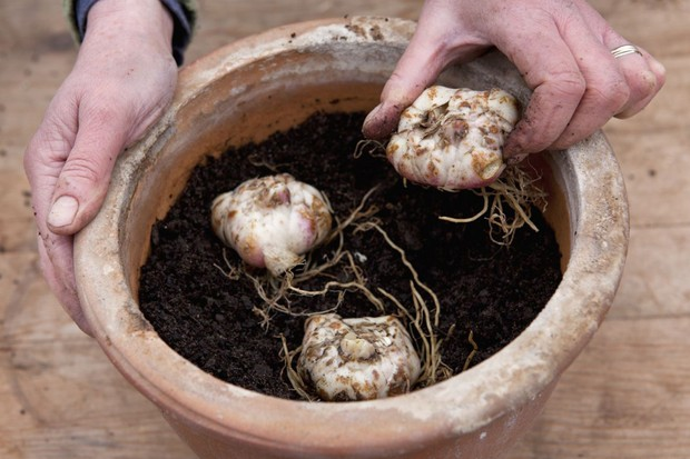 Planting lily bulbs in a pot