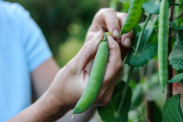 PIcking a ripe pea pod