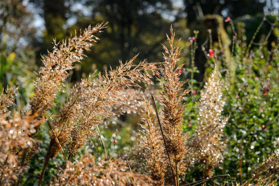 Brown seedheads of Korean feather reed grass