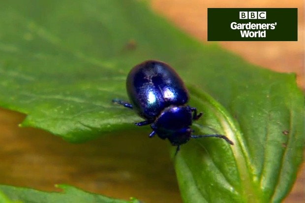How to tackle blue mint beetle