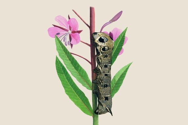 elephant-hawk-moth-deilephila-elpenor-2