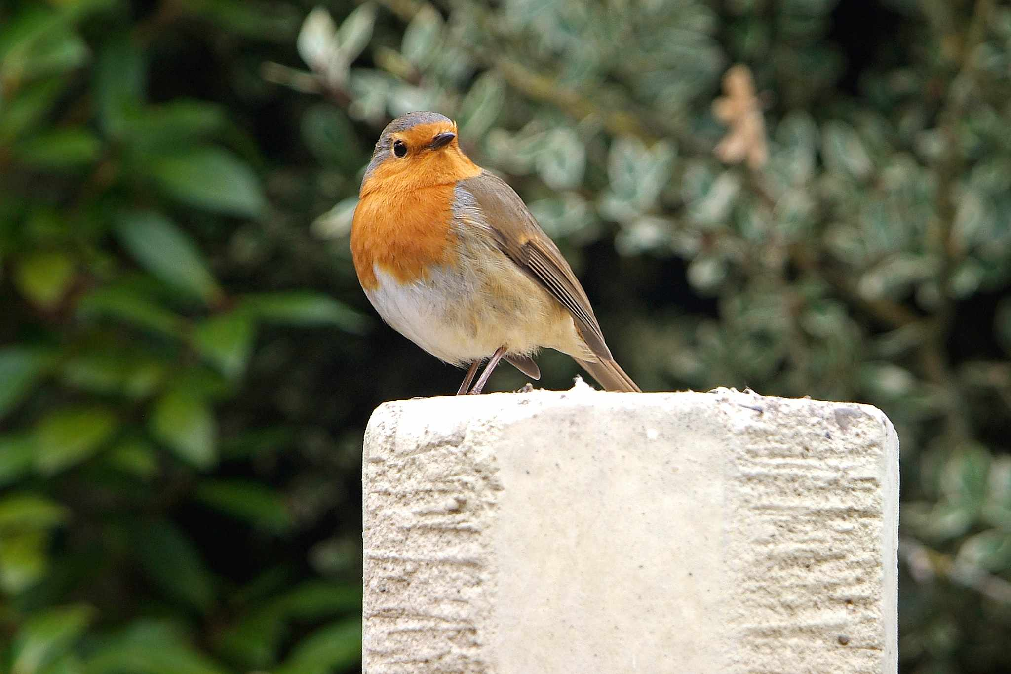 Robin in a garden