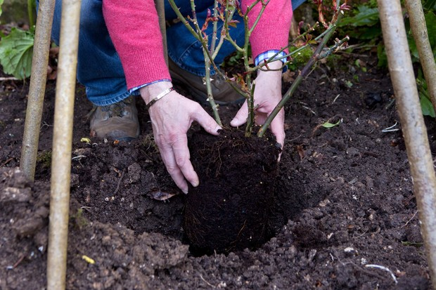 Planting a climbing rose below a support