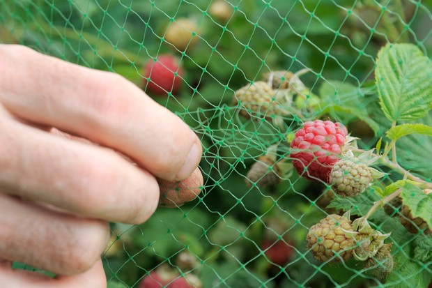 Protecting ripening raspberries from birds with netting