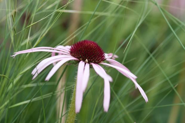 echinacea-pallida-2