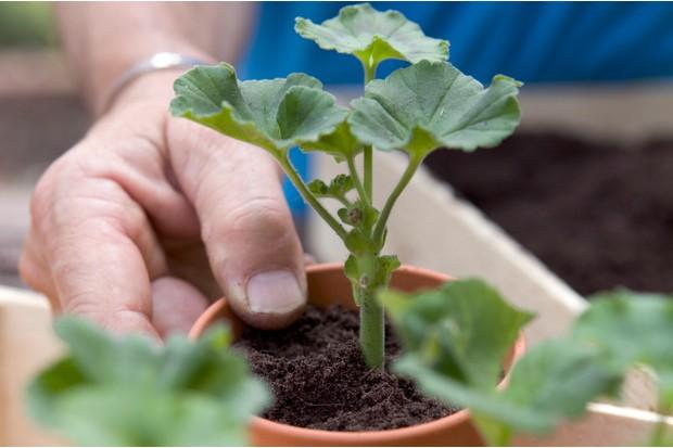 potted-pelargonium-cuttings-3
