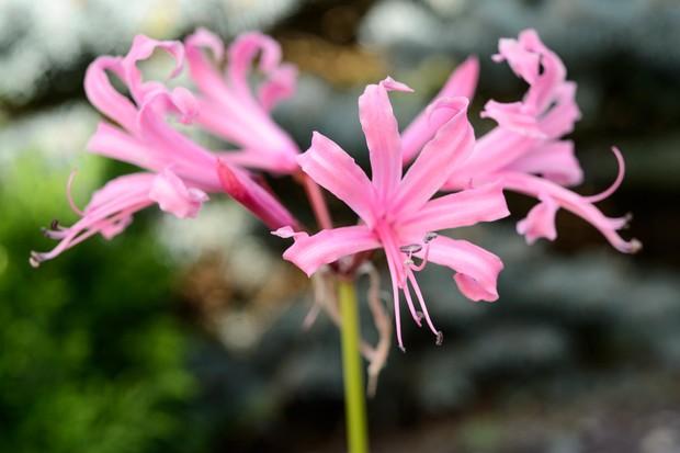 Nerine bowdenii 'Fenwicks Variety'