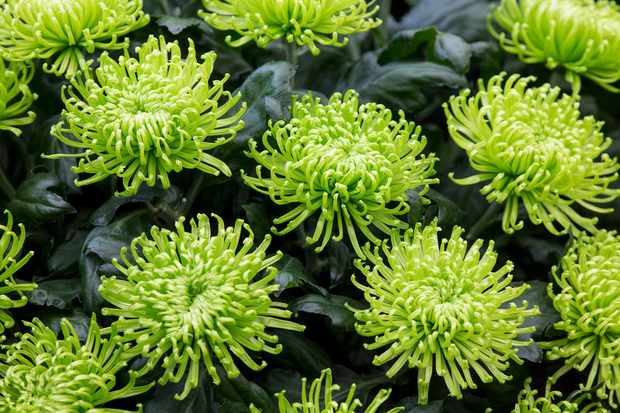 chrysanthemum-green-mist-2