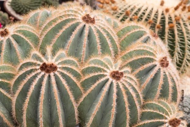 notocactus-magnificus-5