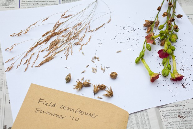 Saving seeds - tipping the seedheads onto white paper