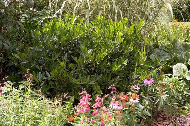 Evergreen cherry laurel