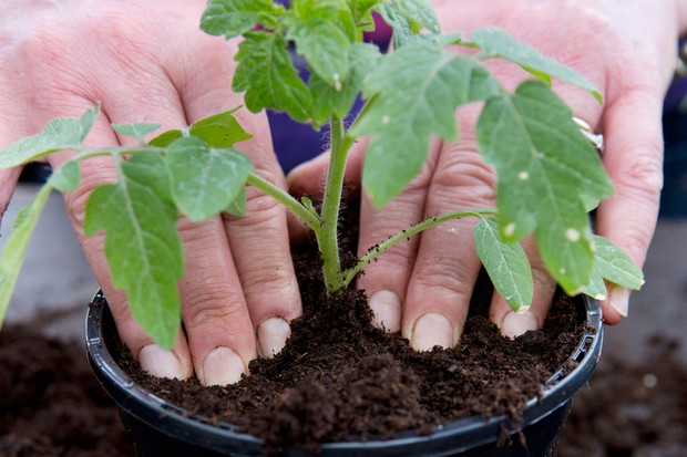 Potting on tomatoes - planting the young seedlings