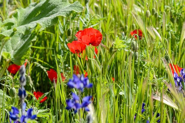 Field poppy (Papaver rhoeas) in flower