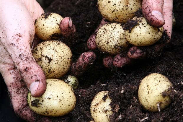 harvesting-potatoes-9