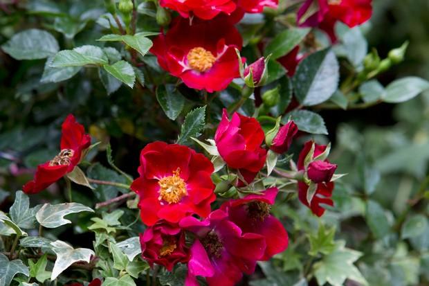Scarlet blooms of Rosa 'Suffolk'