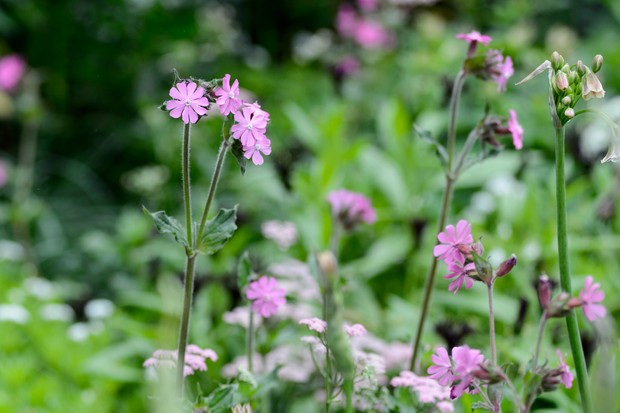 campion-silene-dioica-flowers-3