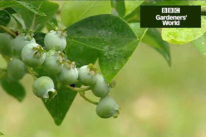 How to grow blueberries and cranberries