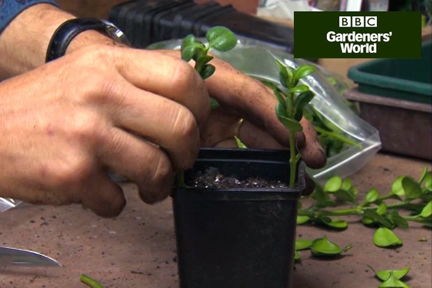How to take cuttings of box hedging