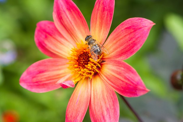 red-pink-single-flowered-dahlia-with-hoverfly-2