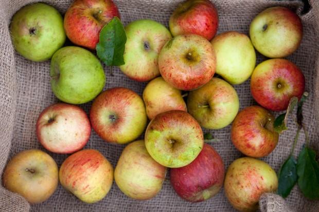 harvested-apples-3